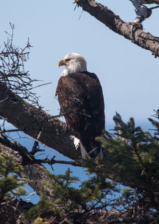 A bald eagle perched on a branch Stock Photo