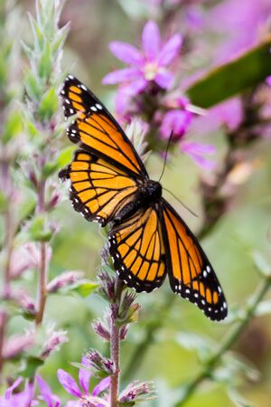 A monarch butterfly on a purple loosestrife plant