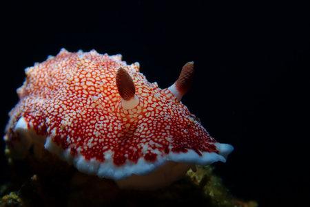 Goniobranchus reticulatus nudibranch is a species of colourful sea slug or dorid nudibranch, a marine gastropod mollusk in the family Chromodorididae