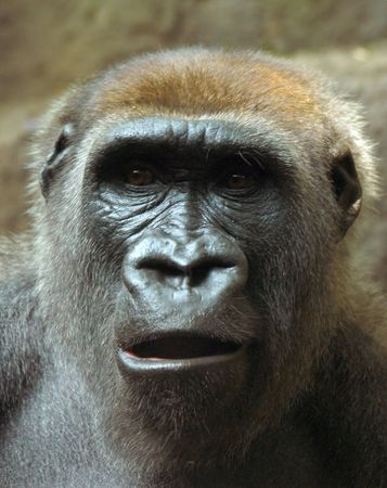 Gorilla with surprised look on his face 스톡 콘텐츠