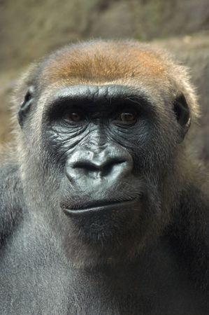 彼は見ている何かに顔をしかめゴリラ 写真素材 - 771191