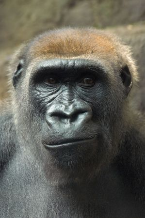 Gorilla frowning at something he is seeing