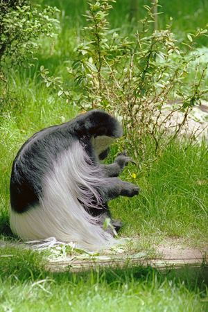 Black and White Long Haired Gorilla with Golden Leaf Stok Fotoğraf