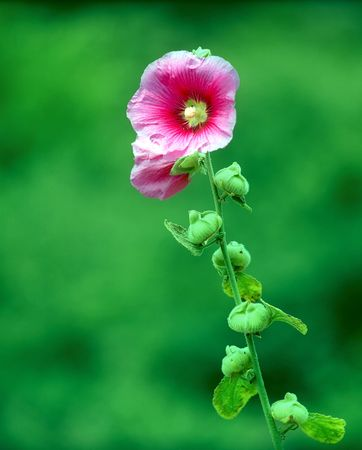 A Pink Flower on a natural Green Background Stock fotó - 784853