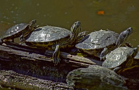 A group of Turtles all Piggybacking in a row
