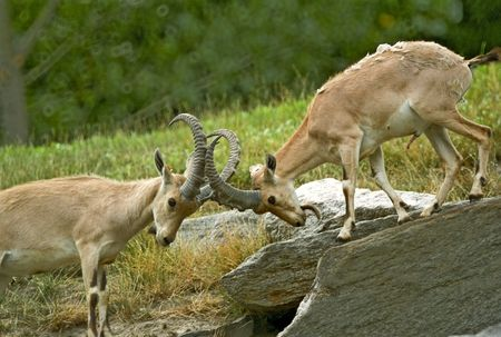 Two Mountain Goats Sparring with each other Stock Photo