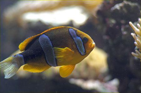 cichlid: A Blue and Gold Brackinsh Water Cichlid