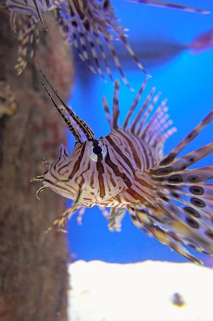A close up of a Lionfish in an Aquarium