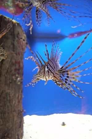 A Lionfish coming close in an Aquarium Tank Stock Photo