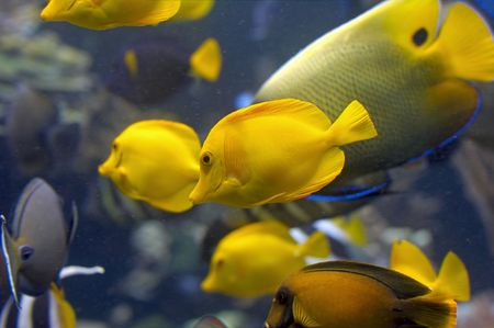 aquarium tank: Yellow Salt Water Tropical Fish in Aquarium Tank