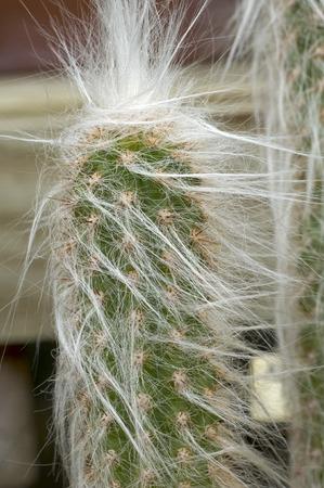 Long White Haired Cactus Plant in Arboratum