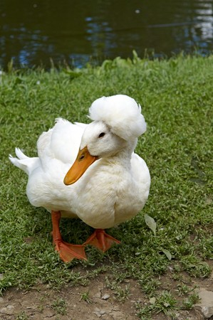 A very peculiar loooking Duck with feathers on its head photo