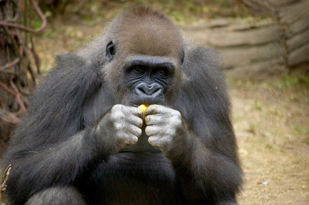 Gorilla Examining a Leaf At the Bronx Zoo