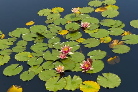 lillies: Water Lillies in a Calm Pond