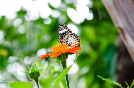 Butterfly on a Mexican Sunflower Stock Photo
