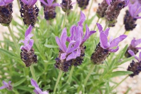 lavandula: Lavandula stoechas flower