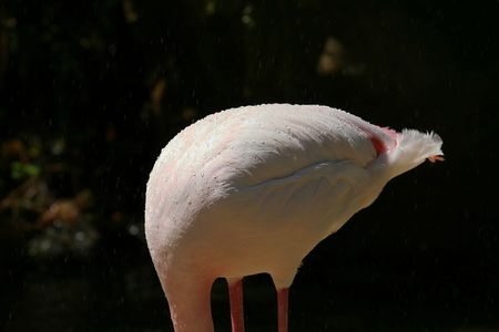 headless flamingo, with water droplets on its back photo
