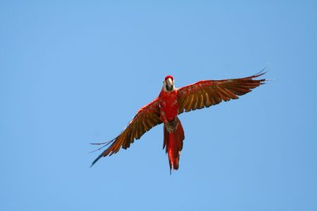 Scarlet Macaw closing in flight, Ara macao