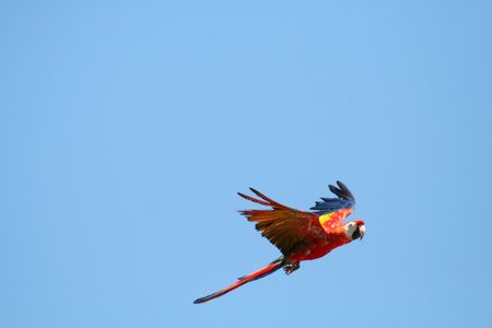 Scarlet Macaw parrot in flight,Ara macao