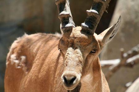 ibex ram: nubian ibex close up, Capra nubiana