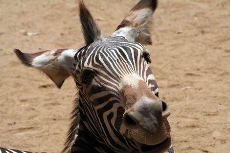funny laughing zebra head photo