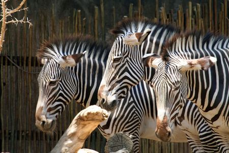 three zebras heads from the side photo