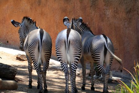 group of three zebras from behind photo