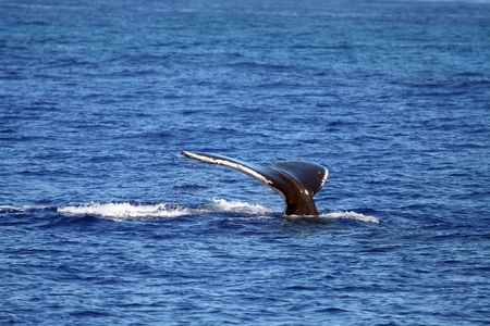 whale tail diving, from surface Stock Photo - 531631