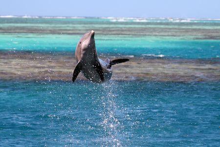 Delphin-Springen über eine türkisfarbene Lagune  Standard-Bild - 541802