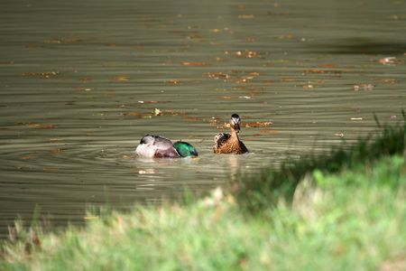 beack: Couple of duck on the water