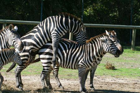 two zebra having  male and female