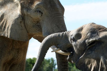 africa kiss: two elephant kissing each other