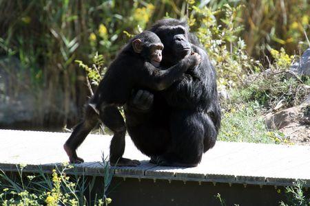 chimpanzee giving a hug to his mother Stock Photo