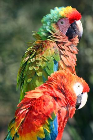 the two parrots: two parrots with colorfull feathers Stock Photo