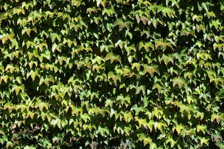 vegetal: leaves vegetal texture background on a wall Stock Photo