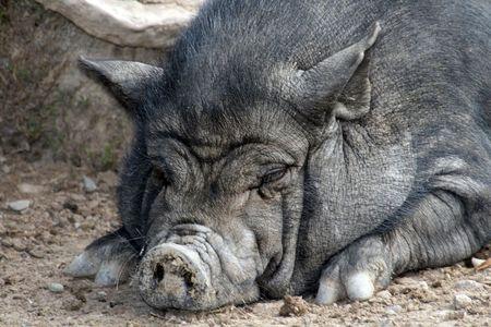 big fat lazy wild pig