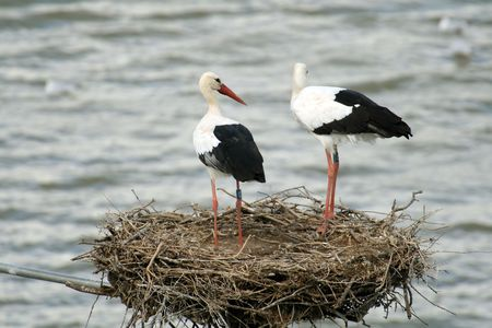 spreaded: two ciconia in the nest