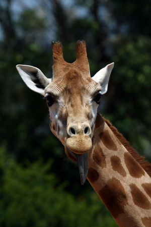 girafe: girafe head with tongue out