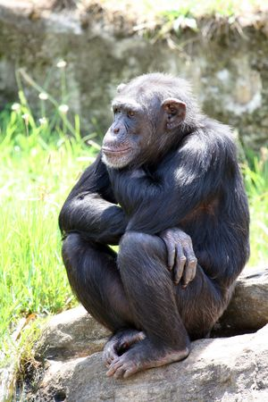 young chimpanzee seated on a rock