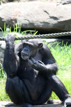 chimpanzee monkey scratching his chin photo