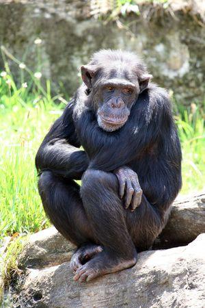 young chimpanzee monkey with sad mood photo