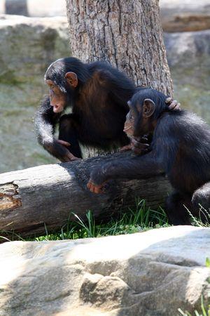 two chimpanzee monkeys playing together photo