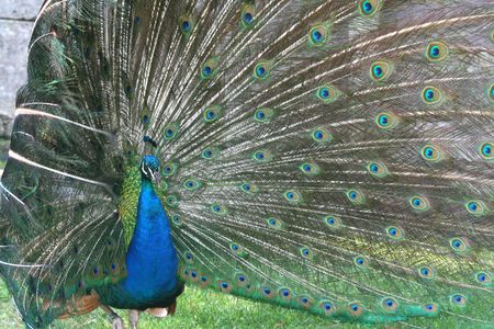 peacock with its tail around head photo