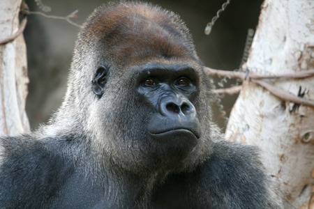 big gorilla face and shoulders close ip Stock Photo