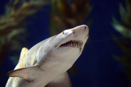 bull shark: bull shark jaws open under water Stock Photo