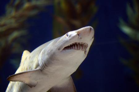 Bullenhai Kiefer öffnen unter Wasser  Standard-Bild - 1490032
