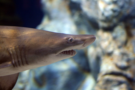 shark head from under the sea water photo