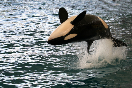 killer whale jumping on its back over the water Stock Photo