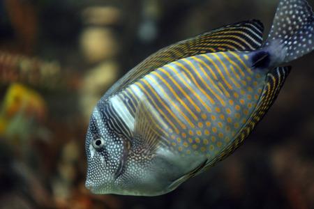 surgeon fish: coral peces cirujano con puntos blancos y l�neas