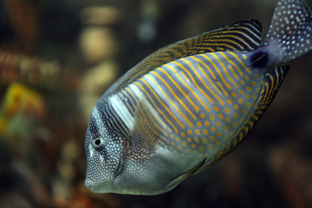 surgeon fish: coral surgeon fish with white dots and lines